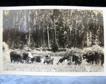 Antique Postcard White Faces Cows Big Horn Mountains WY ONeill Photo