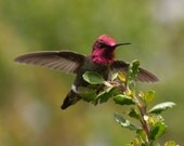 Anna's hummingbird: 5 x 7 photograph