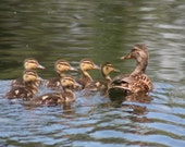 Duck family: 5 x 7 photograph, charity donation