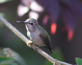 Anna's hummingbird 2: 8 x 10 photograph, charity donation