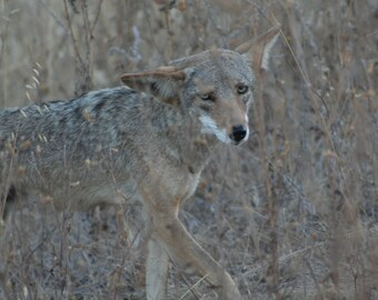 Coyote in the grass: 5 x 7 photograph, charity donation