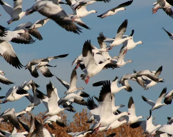 Simultaneous flight: snow geese, 8 x 10 photograph CHARITY DONATION