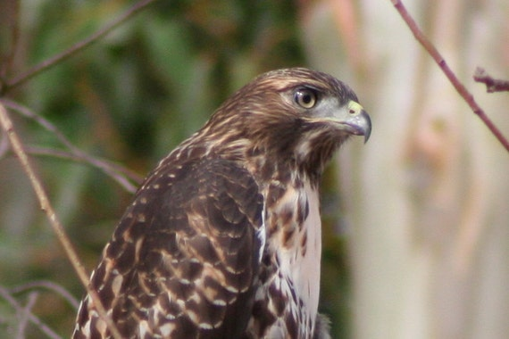 Juvenile red-tailed hawk 2: 5 x 7 photograph