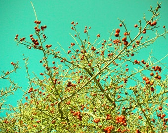 Tree Berries 8x10 photo teal sky red berries green branches