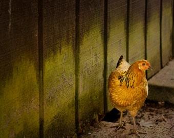 Animal photography, Orange chicken 8x10 photograph rustic green