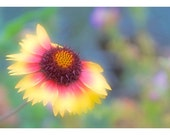 Nature Series Three: Gaillardia Pastel - RMVeraStudio
