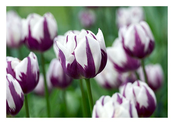 Item DetailsPurple And White Tulips
