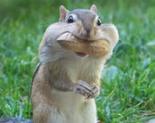 Really Happy Chipmunk Fine Art Photography Print