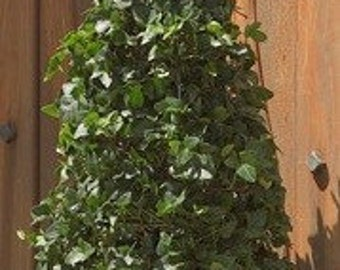 Live English Ivy Topiary Cone