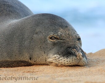 Hawaiian Monk Seal endangered resting on the sand Maui nature photography