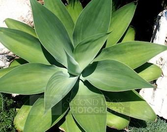 Bermuda Agave Plant