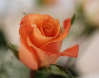 Dancing Orange Rose