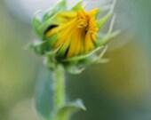 Budding Sunflower Photography - 4 x 10 - Fine Art Print - Macro - Yellow - Green - Daisies - Flowers - Soft Focus Creamy Bokeh Background