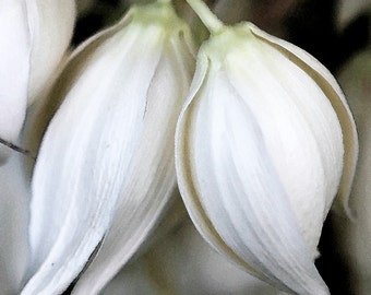 White Yucca Flower Photography Wedding or Nursery Decor for Home or Office