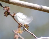 Feather on Elm, white feather photo, angel feather photograph, spring buds, grey and white wall art,