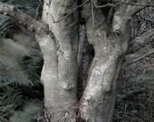 Rowan No.7, 5 x 7, Tree photograph, rowan tree, woodland photo, forest, grey bark, twin souls, protection