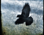 Crow in flight, black bird photograph, square print, blue and black wall art, nature photography, wild life, corvid, corvidae
