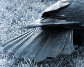 Crow tail feathers, Crow photograph, black feathers photo, steel grey, metallic look, 5 x 7 inches, crow totem, corvid, corvidae