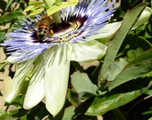 Passion Flower and Bees Photos Collection, Flower Photography