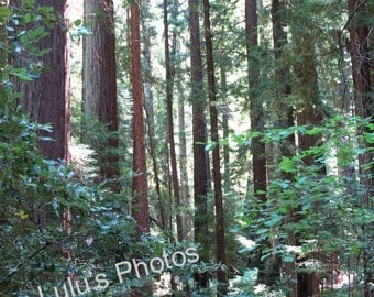 California Redwood Trees in Montgomery Woods - Who's the Tallest of Them All