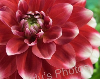 Ruby Red Dahlia with White Tips, Flower Photography