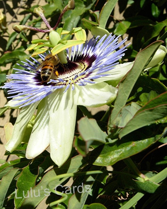 Passion Flower and Bees Photos Collection, Flower Photography, Personalized Cards