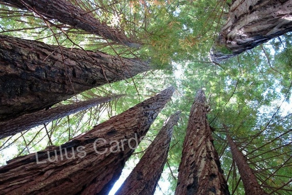Mighty Redwoods Taller Than Your Average Tree