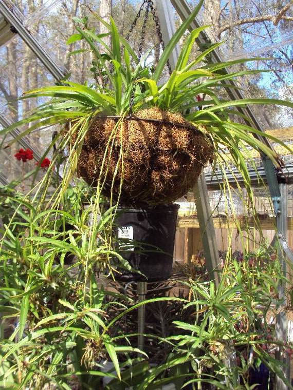 spider plant baby live plant sale grow your own spider plant. Black Bedroom Furniture Sets. Home Design Ideas