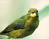 Fine Art Bird Photograph - Green Yellow Finch - Nature Photography - 8x10 Fine Art Print - Euphonia eating Mango
