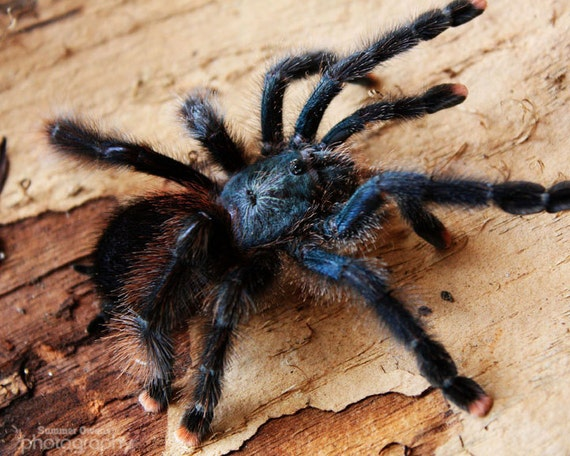 Tarantula Photograph - She Wore Pink Slippers - Blue and Pink Toe Hairy Spider Arachnid - 8x10 Fine Art Photo Print