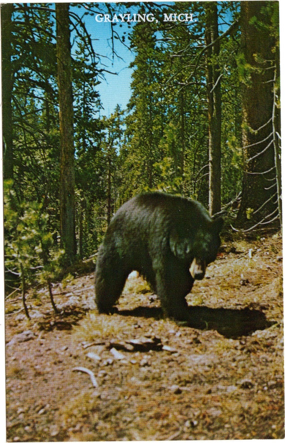 Thank You For Your Order >> Vintage Postcard Grayling Michigan Black Bear