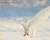 photo of a Snowy Owl in Flight, Talons at Ready
