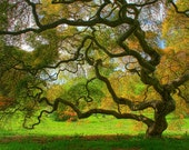 Japanese Maple Tree in Spring, Landscape Photograph, Green, Nature, Tree of Life, Art Print, Zen, Woodland, Old Tree, 6X9