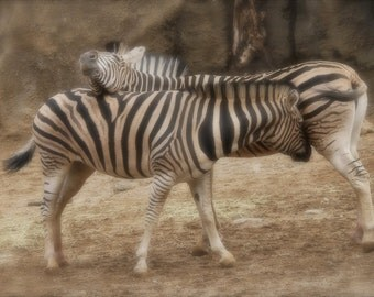 Zebra Couple, Animal Photograph, Love, Wild Animal, Africa, Fine Art Photography, Stripes, Home Decor, Black and White, Art Print, Couple