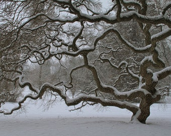 Japanese Maple Tree in Winter, Landscape Photograph, Old Tree in Snow, Nature, Tree of Life, Art Print, Zen, Woodland, Black and White, 6X9