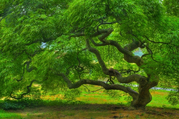 Japanese Maple Tree in Summer, Landscape Photograph, Nature, Tree of Life, Green, Art Print, Zen, Woodland, Old Tree, 6X9