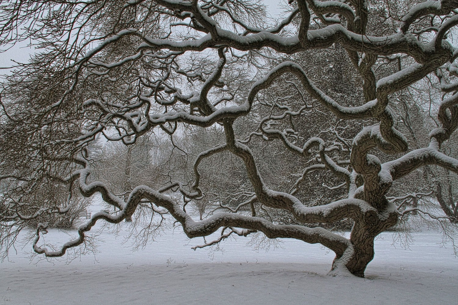 japanese maple tree in winter landscape photograph old tree