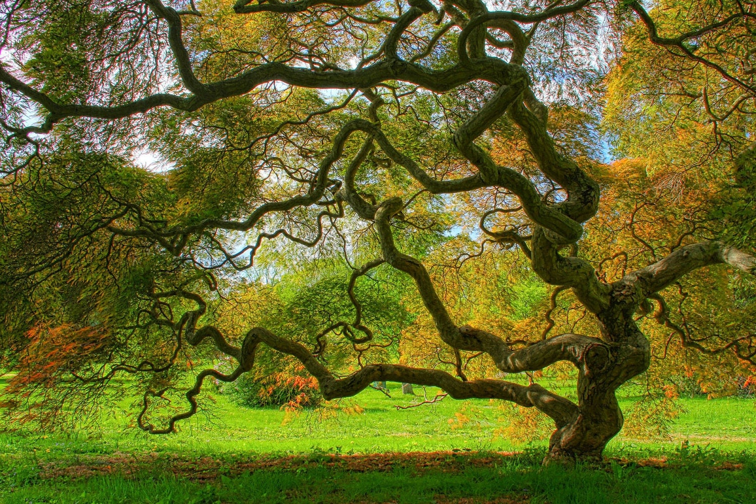 japanese maple tree in spring landscape photograph green