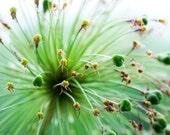 Summer Allium: 12 x 16 in on Fine Art Paper