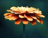 "Flower Photography - autumn fall orange wall art teal turquoise navy prints floral decor modern botanical nature photograph, ""Spellbinding"""