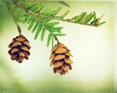 """Pinecone Photography - light green brown white nature winter branch art print pine cone branches photograph, """"The Fragrant Breath of Pine"""""""