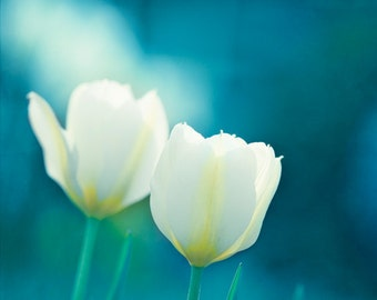 "Flower Photography - aqua decor blue white tulips print teal turquoise colorful modern floral wall photo 11x14, 8x10 Photograph, ""Charisma"""