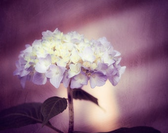 "Flower Photography, dark purple wall art print violet plum decor fine artwork nature botanical photo, 16x20, 11x14, 8x10 Photograph, ""Regal"""
