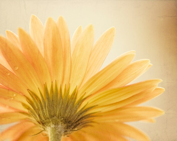 "Flower Photography - daisy yellow gold photography beige light brown floral spring nature wall art - 11x14, 8x10 Photograph, ""Butterscotch"""