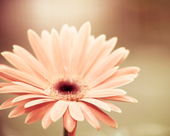 "Flower Photograph - daisy peach nature flower print coral beige nature pastel spring photo wall art pale nursery hotograph, ""Peachy Keen"""