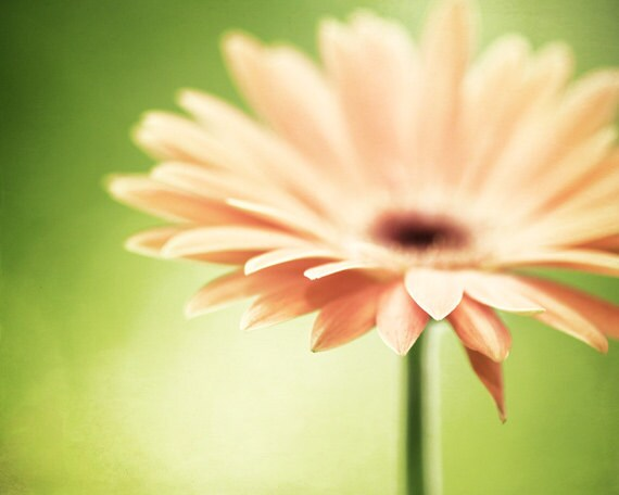items similar to daisy photography, green peach orange flower, Beautiful flower