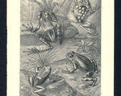1920 Brehms Antique Animal Print of frogs