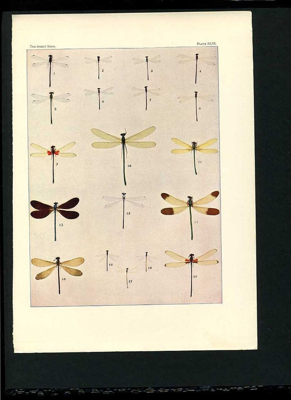 1904 Insect Print of Dragon Flies