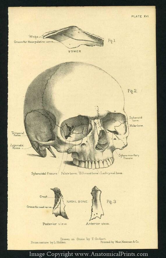 1887 Human Anatomy Prints of the Skull