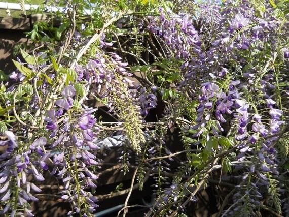 Wisteria Seeds To Grow Your Own Gorgeous Wisteria Vines- Garden - Gardening